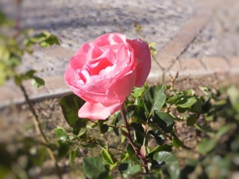 rosa_Fotor